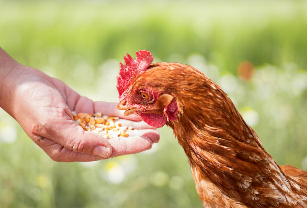 chicken rental